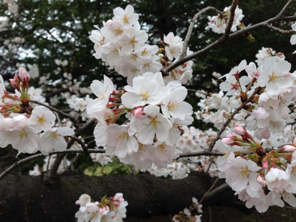 20130406_sakura